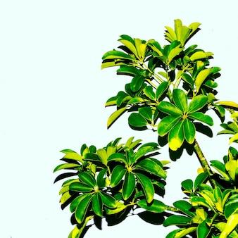 Groene boom tegen een witte muur. minimale stijl