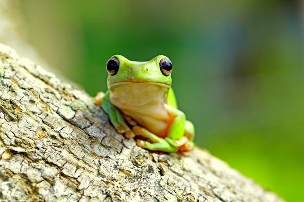 Groene boomkikker, dumpy kikker, papoea groene boomkikker
