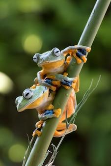 Groene boomkikkers die op de bamboeboom hangen