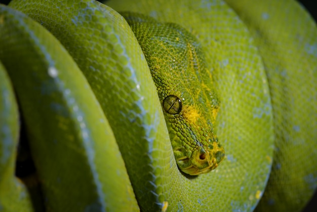 Groene boompython morelia viridis op twijgen