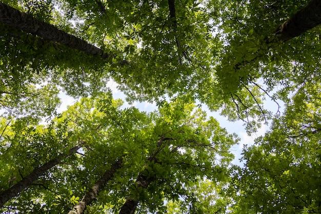 Groene boomtoppen. kastanje bos. gebladerte.