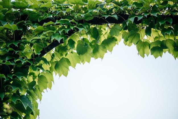 Groene boston klimop bladeren kruipen op de achtergrond van het booglatwerk