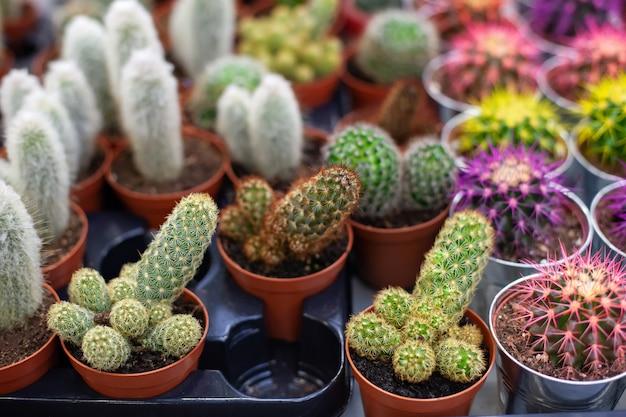 Groene cactus in potten. verzameling van verschillende cactussen in bruine potten. kleine planten groeien met doornen. kamerplanten decoratie huis, kantoor, woonkamer of tuin. doornige cactus. veel kleine cactussen in pot