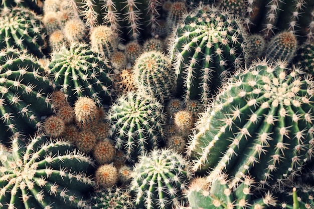 Groene cactusclose-up
