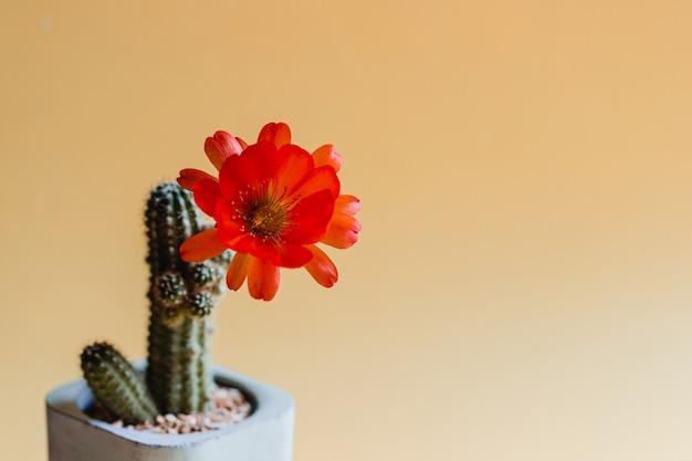 Groene cactusplant met rode bloem op oranje pastelkleur. trendy tropische sfeer en toon.