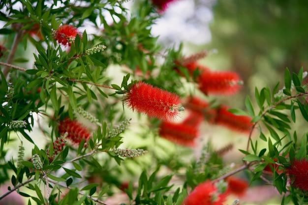 Groene callistemonstruik met felrode bloemen erop