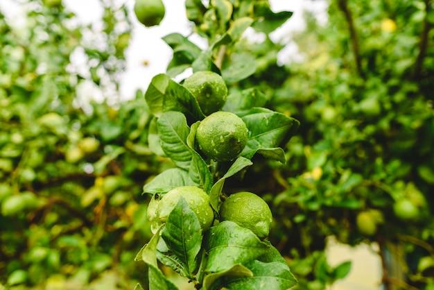 Groene citroenen die van de citroenboom hangen op een regenachtige dag.