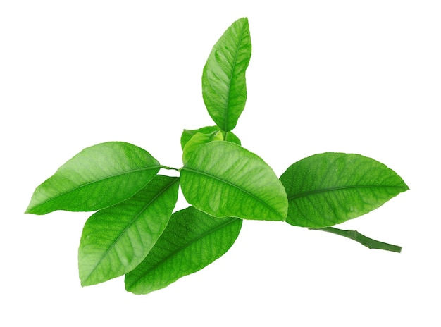 Groene citrusvruchtenbladeren die op wit worden geïsoleerd