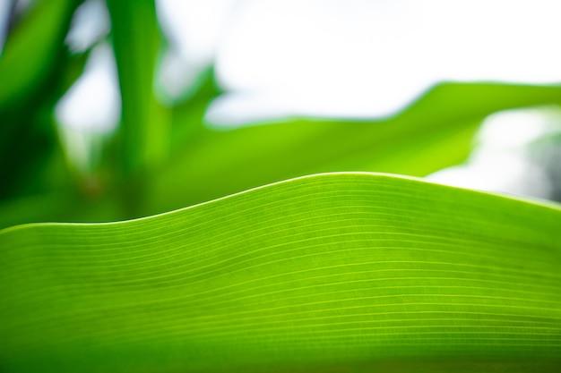 Groene close-up natuur groot blad in ontspannen sfeer en toon met vloeiende curve en lijn op de rand van het blad.