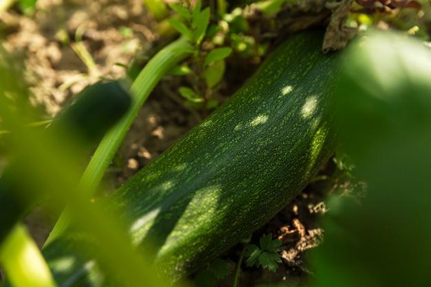 Groene courgette in een tuinbed in groen gebladerte. nieuwe oogst. detailopname.