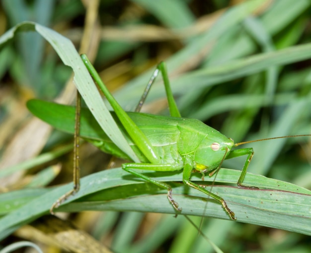 Groene cricket