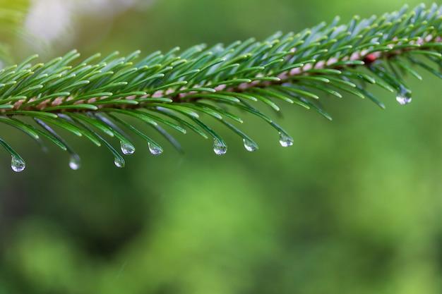 Groene dennenboom tak met waterdruppels op een regenachtige lente of zomerochtend