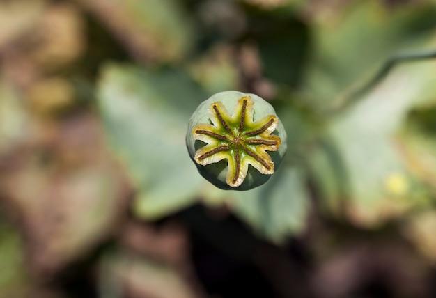 Groene doos na papaverbloesem, zaden oogsten om te koken, close-up van een enkele bloem