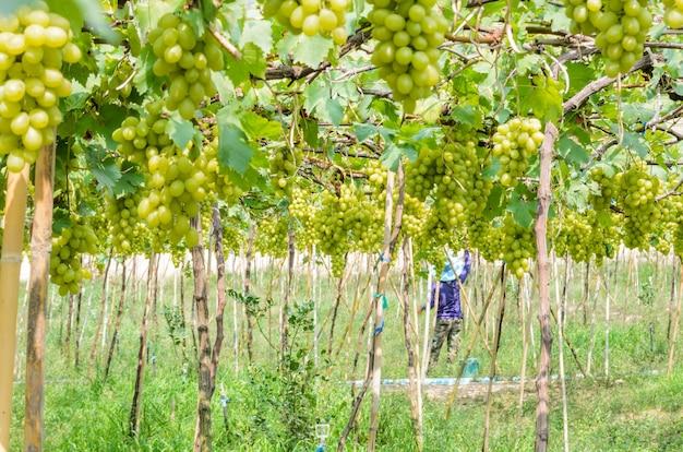 Groene druiven planten in de tropen, thailand