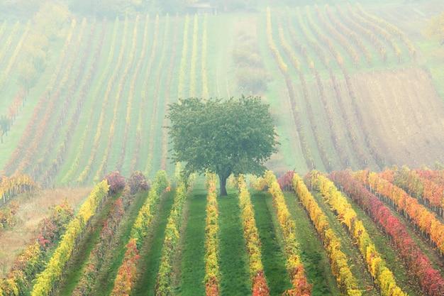 Groene eenzame boom in de mist tussen de wijngaarden. herfst schilderachtige landschap van zuid-moravië in tsjechië.