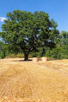 Groene eik en een landbouwveld met stekelig stro