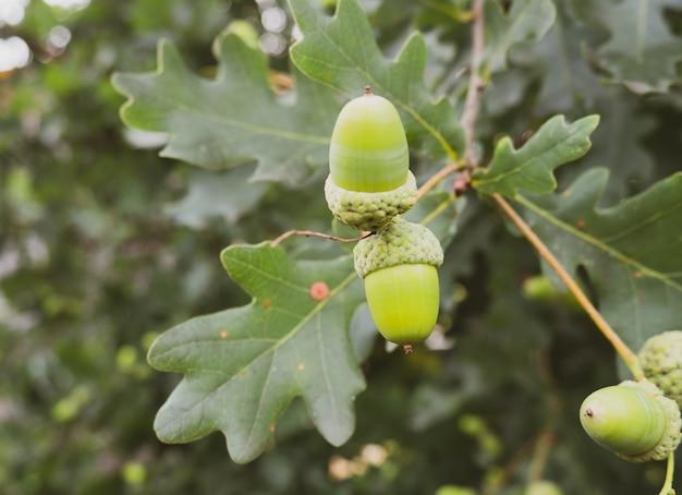 Groene eikels op een tak close-up
