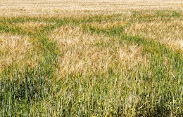 Groene en gele haver of andere granen op landbouwgrond, landbouw voor opbrengst en winst