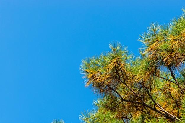 Groene en gele naalden in pijnboom op blauwe hemel.