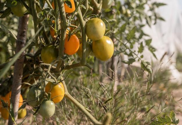 Groene en gele onrijpe tomaten groeien op tak in de tuin