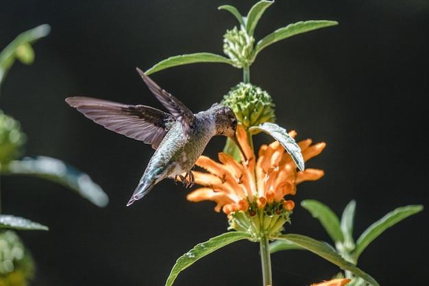 Groene en grijze kolibrie die over gele bloemen vliegt
