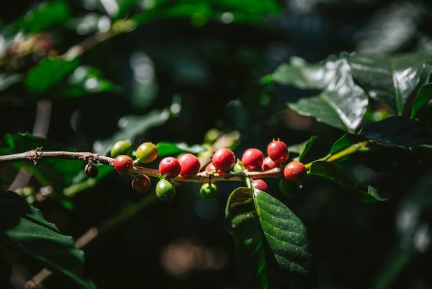 Groene en rode arabica-koffiebessen van koffieboom