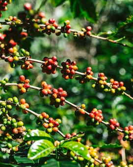 Groene en rode arabica koffiebessen van koffieboom.