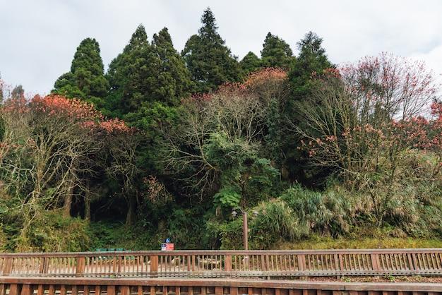 Groene en rode bomen in bos in de winter op alishan national forest recreation area in chiayi county, alishan township, taiwan.