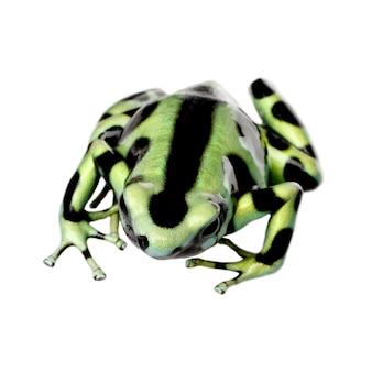 Groene en zwarte pijlgifkikker - dendrobates auratus op een wit geïsoleerd