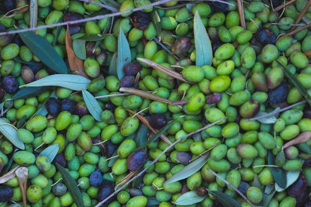 Groene en zwarte verse olijvenachtergrond. oogsten in de cultivar ligurië, italië, taggiasca of caitellier. afgezwakt beeld.