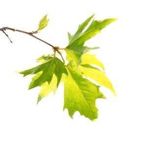 Groene esdoorn bladeren met tak geïsoleerd op een witte achtergrond.