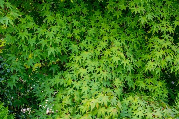 Groene esdoorn laat de achtergrond achter.