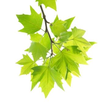 Groene esdoornbladeren met geïsoleerde tak.