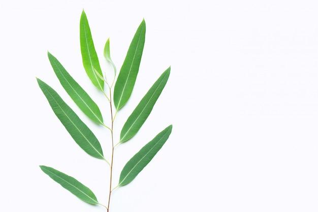 Groene eucalyptustak op wit