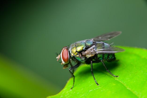 Groene flessenvlieg in aard
