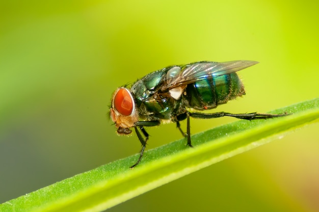 Groene flesvlieg
