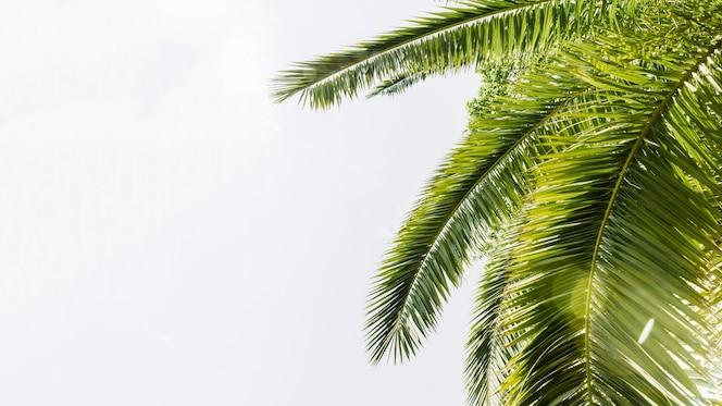 Groene gebogen palmen tegen hemel