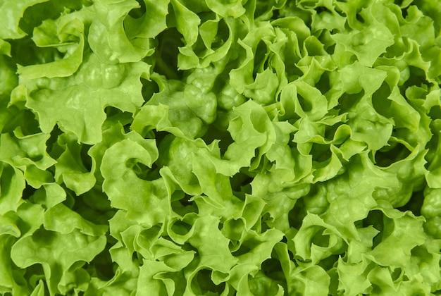 Groene gekrulde blaadjes sla salade