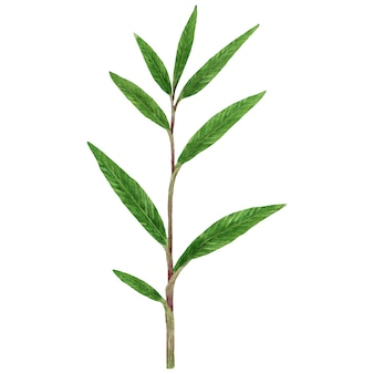Groene gemberplant