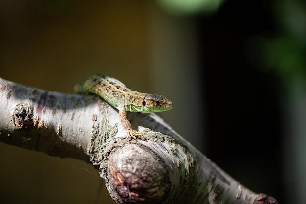 Groene gevlekte hagedis op een boomtak