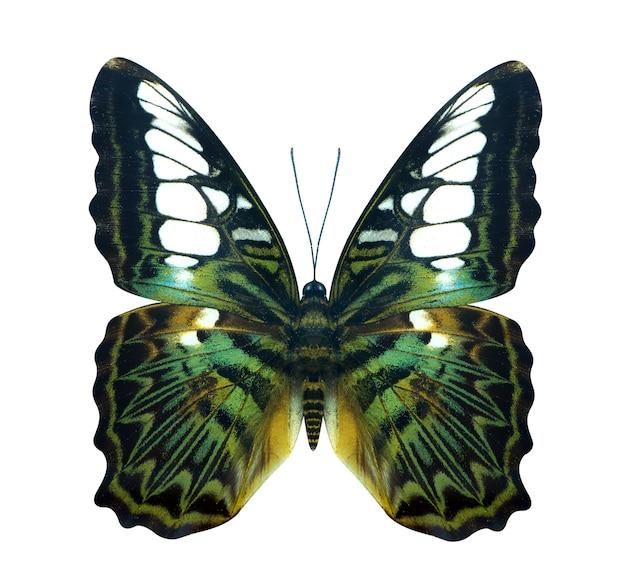 Groene gouden vogelvlieger cruiser-vlinder