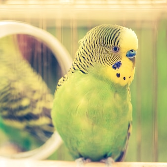 Groene grasparkiet papegaai close-up zit in kooi. leuke groene parkiet