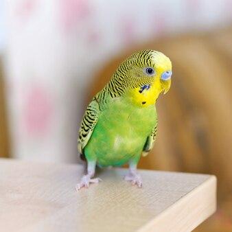 Groene grasparkiet zit op tafel kleine binnenlandse vogel