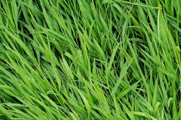 Groene grastextuur van achtergrond.