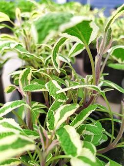 Groene groeiende salie in een pot.