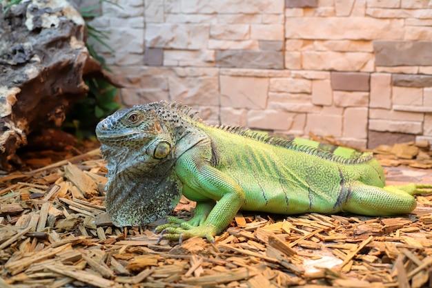 Groene grote leguaan op terrarium dieren, chordaten, reptielen, geschubd