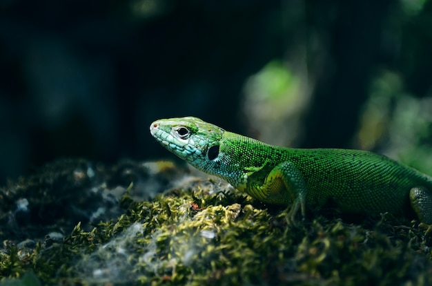 Groene hagedis op rots closeup portret groene hagedis op mos