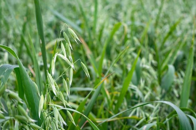 Groene haver in een veld op een zonnige zomerdag