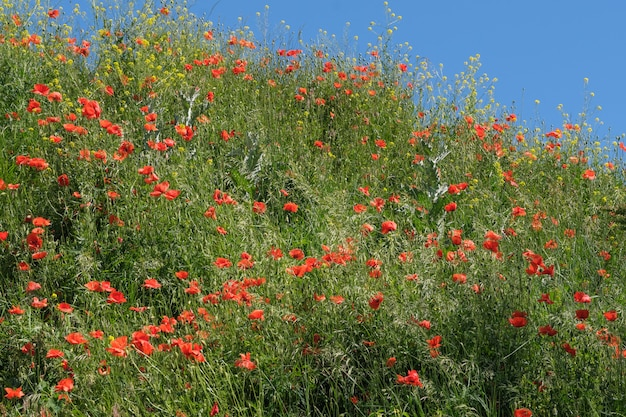 Groene heuvel begroeid met gras onder een blauwe lucht met wolken met bloeiende rode papavers op een zonnige zomerdag