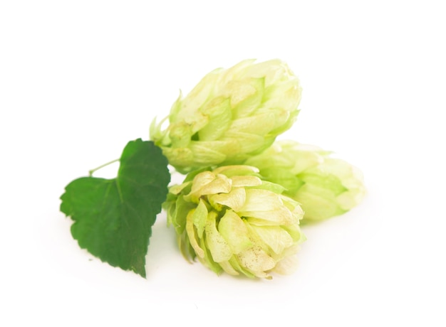 Groene hopbellen geïsoleerd op wit, brouwen, natuurlijke bierproductie